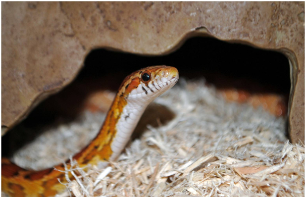 How to Care for a Corn Snake