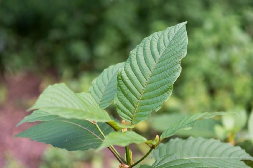 Medicinal herbs against Kratom withdrawal