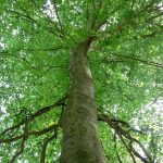 All About Beech Trees