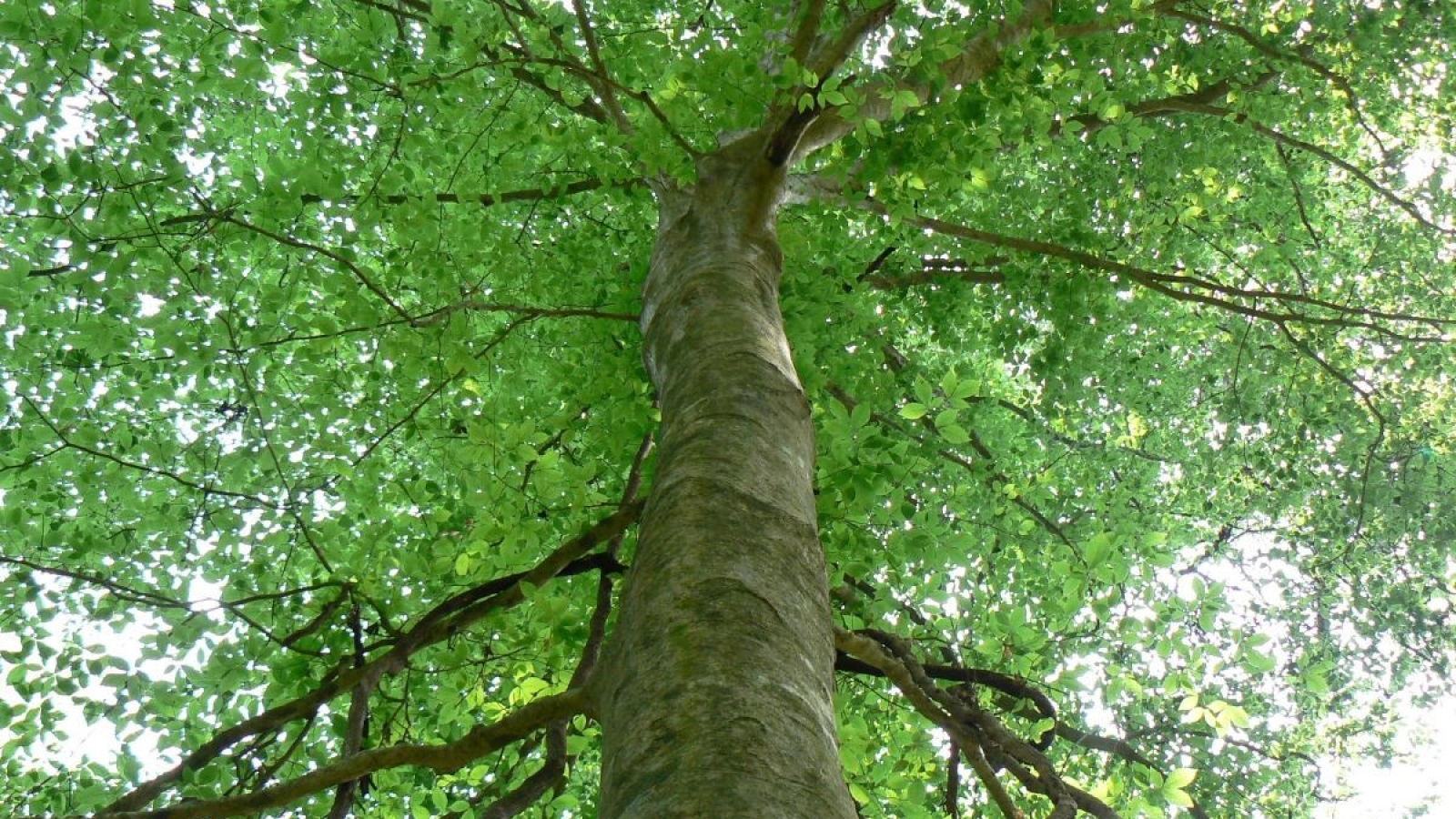 All About Beech Trees2